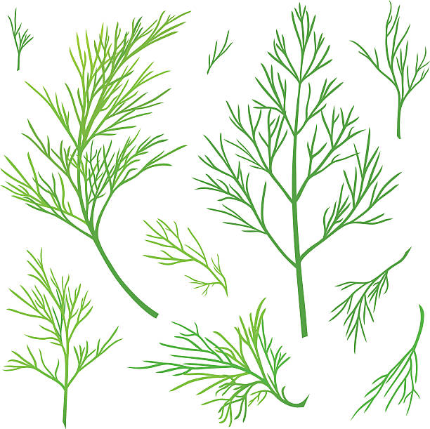 Twigs of dill Green vector twigs of dill dill stock illustrations