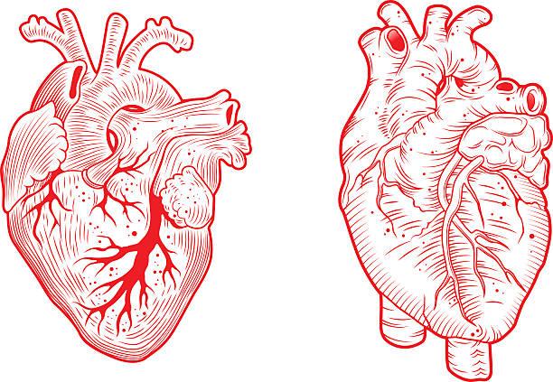 two anatomical hearts anatomical hearts line art vector illustration human heart stock illustrations