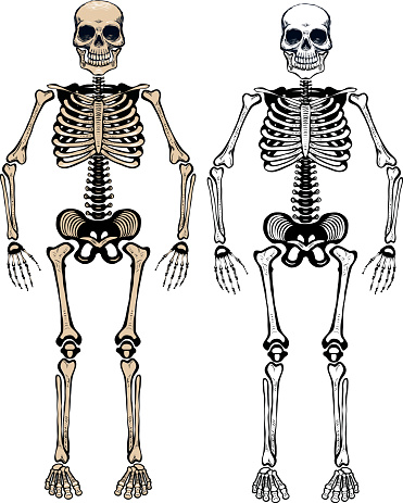 Two animated human skeletons on a white background