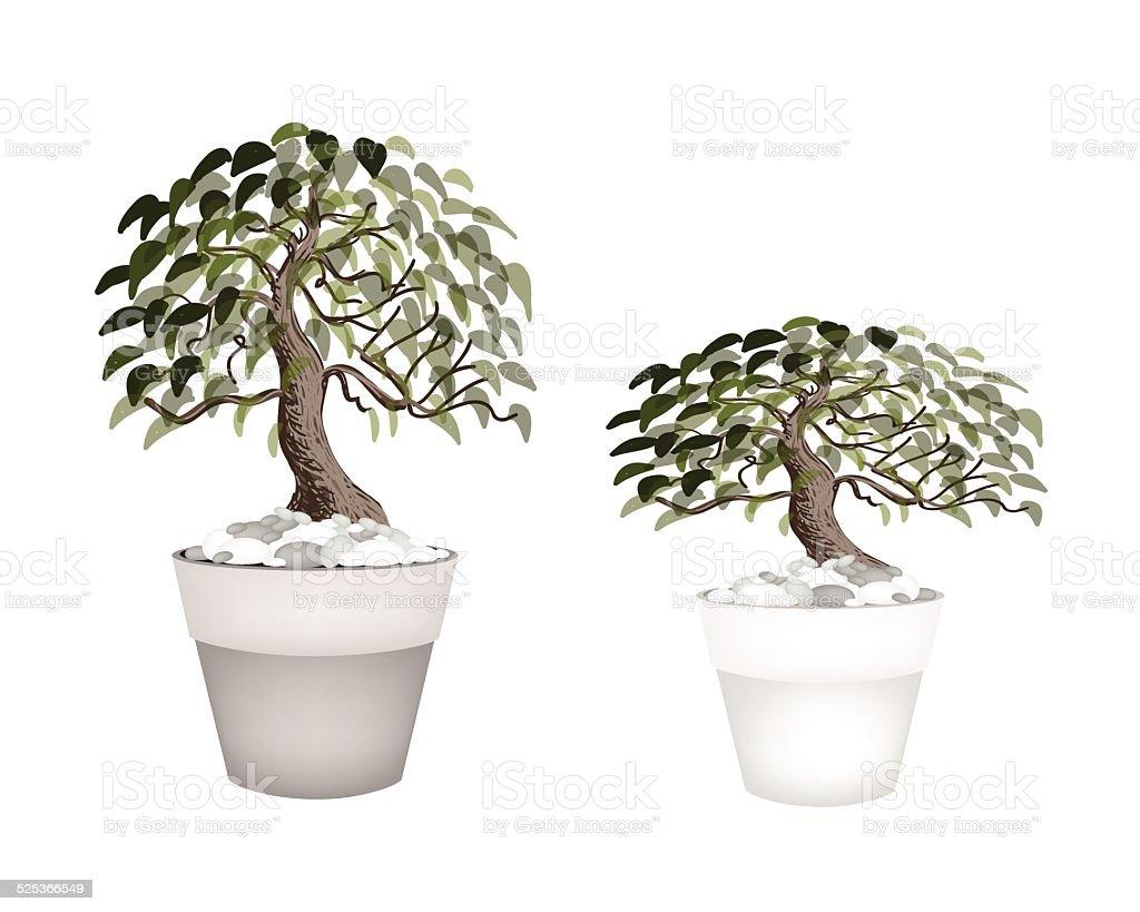 Two Beautiful Bonsai Tree in A Flower Pot vector art illustration