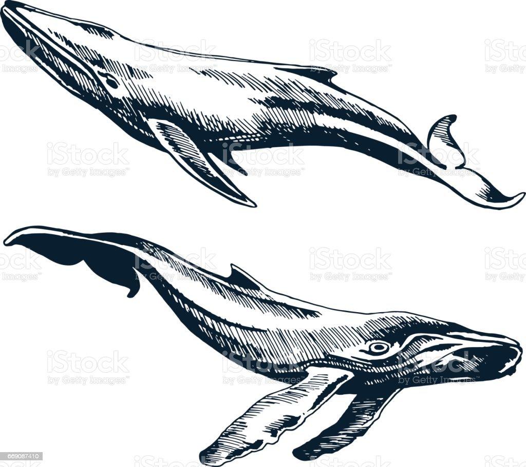 Zwei blau und Buckelwale – Vektorgrafik