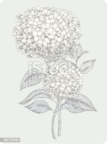 Vector design elements. Engravings Hydrangea.