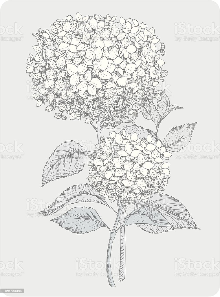 two branches of hydrangea vector art illustration