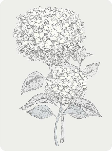 stockillustraties, clipart, cartoons en iconen met two branches of hydrangea - hortensia
