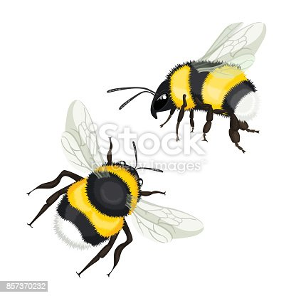 Two bumble bees with wings flying vector illustration isolated on white. Bumblebees covered in soft hair called pile in yellow and black color
