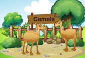 Two camels inside the wooden fence with wood sign board