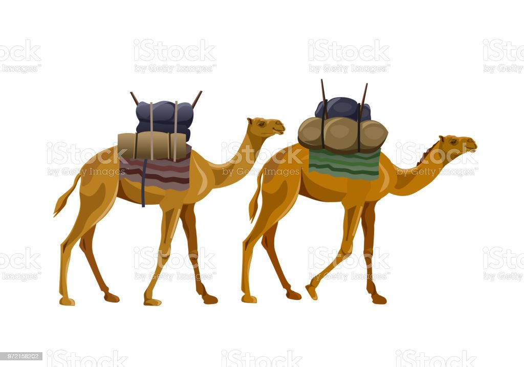 Two camels walking with load vector art illustration