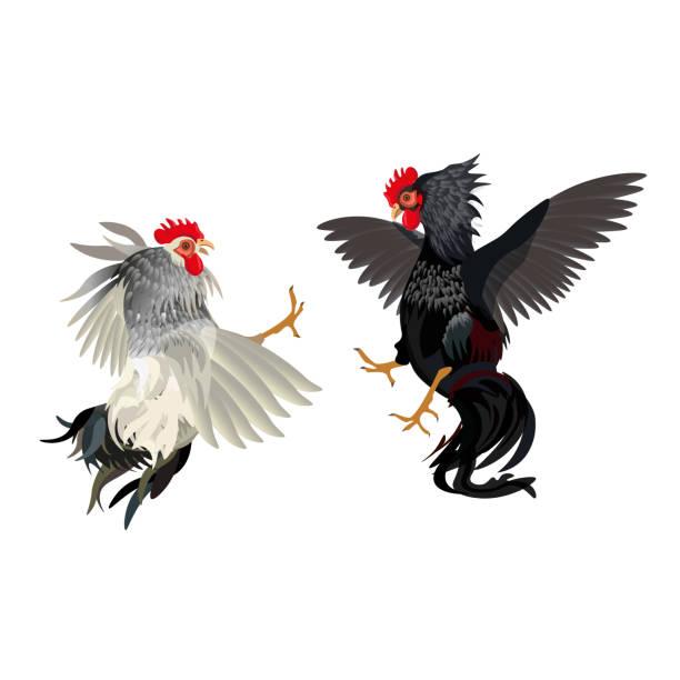 3d0fb20da9d3f Vectores de Gallos De Pelea e Ilustraciones Libres de Derechos - iStock