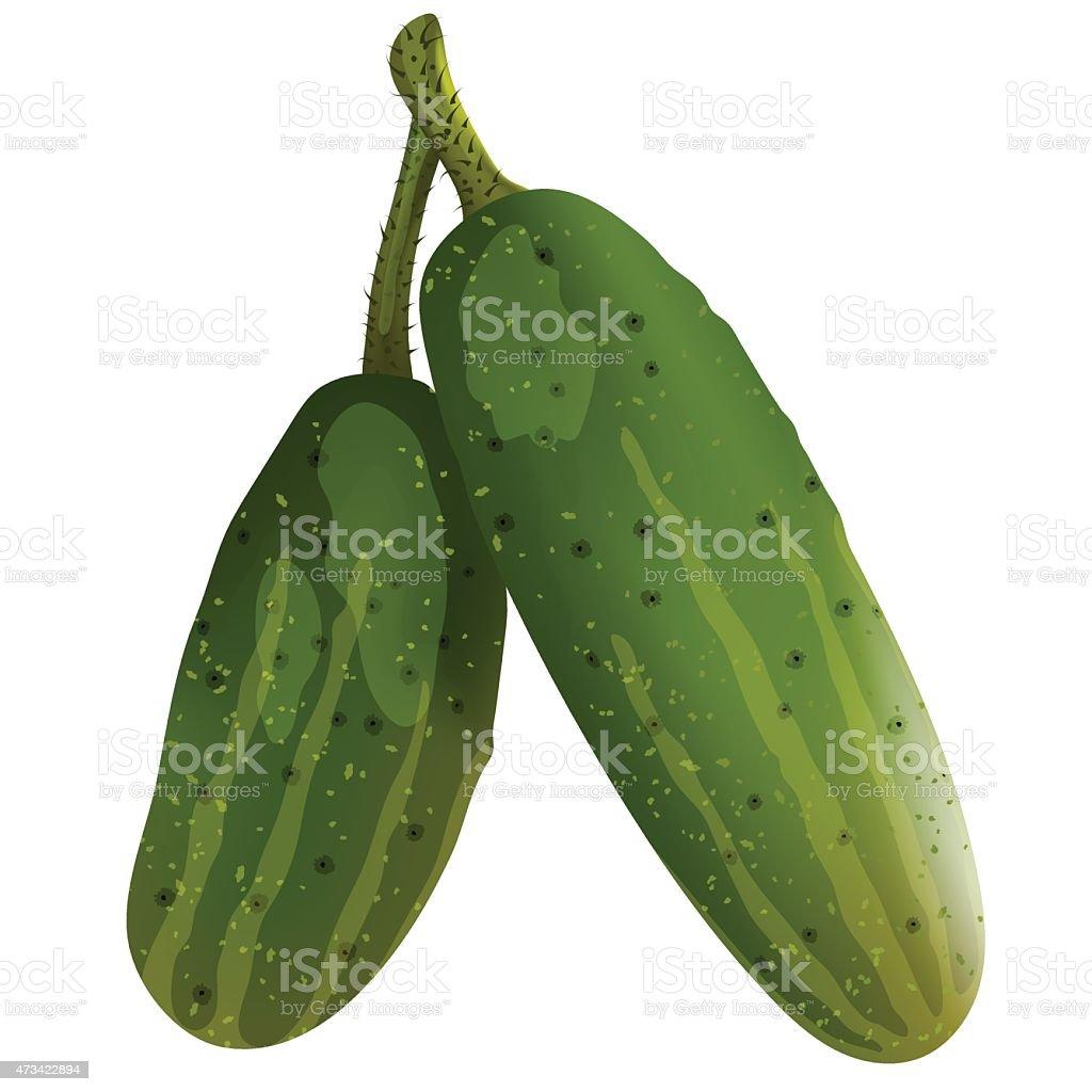 Two fresh cucumbers vector art illustration