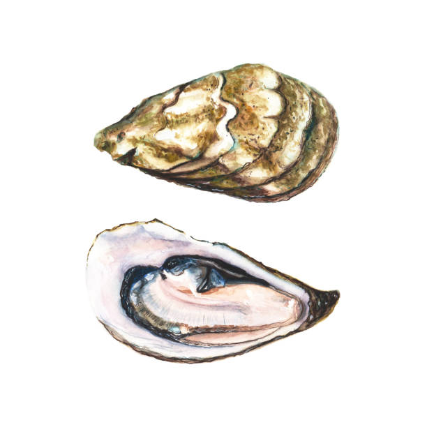 Two halfs of watercolor oyster vector art illustration