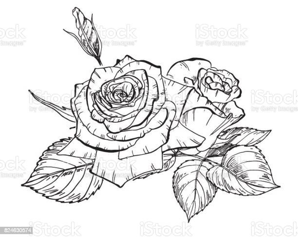 Two hand drawn rose flowers in contour botanical vector illustration vector id824630574?b=1&k=6&m=824630574&s=612x612&h=wh5xoh09gsnvbyqovnvmn5j0gjtczhcscgei1t7zeqa=