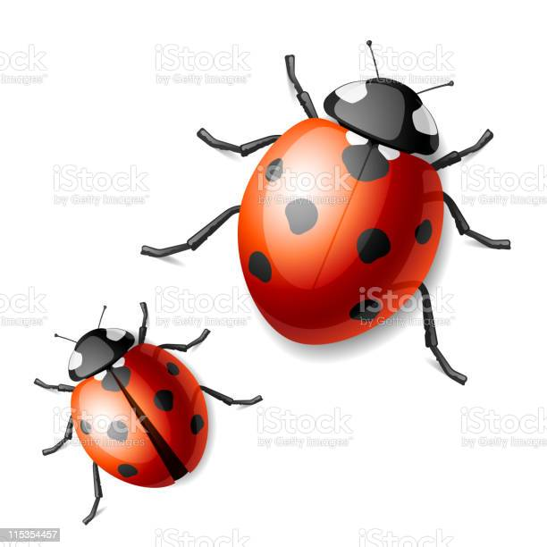 Two images of black and red ladybugs vector id115354457?b=1&k=6&m=115354457&s=612x612&h=w7odziowj085myjg5pba7aaaedw9 d ufc61pdq80pk=