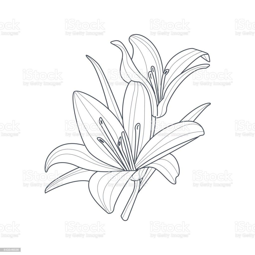 Ilustración De Dos Flores Lirios Monocromo Dibujo Para Libro