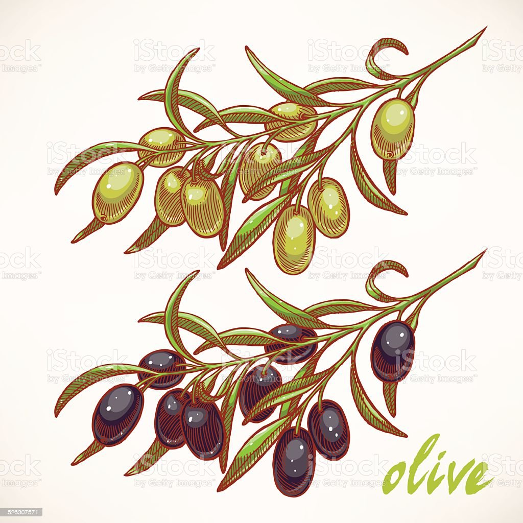 two olive tree branches vector art illustration