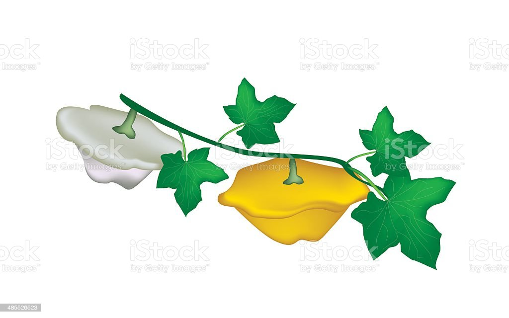 Two Pattypan Squash Plant on White Background royalty-free stock vector art