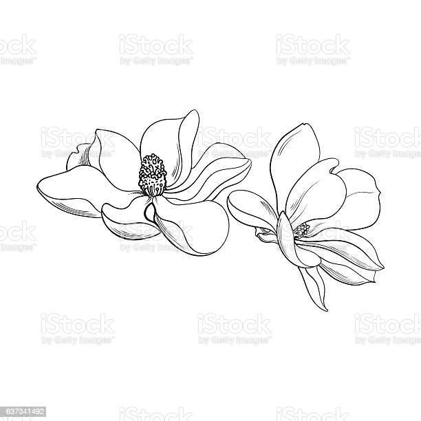 Two pink magnolia flowers sketch vector illustration vector id637341492?b=1&k=6&m=637341492&s=612x612&h=o6fffpfbxf8umcowbubqepke6eqiet0derjebvykfma=