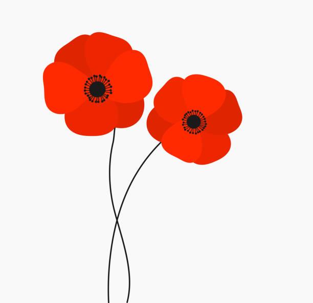 ilustrações, clipart, desenhos animados e ícones de o crescimento de duas papoilas vermelhas floresce isolado no fundo branco. - papoula planta