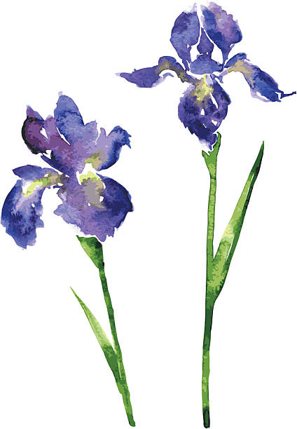 two watercolor blue flowers two vector watercolor blue flowers of irises, hand drawn vector design elements iris plant stock illustrations