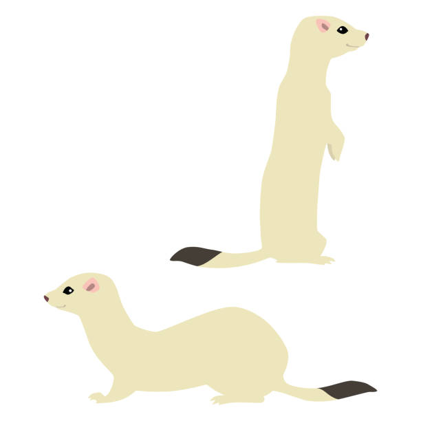 Two weasels in winter coat Vector illustration of standing and sitting cute weasels isolated on white background ermine stock illustrations