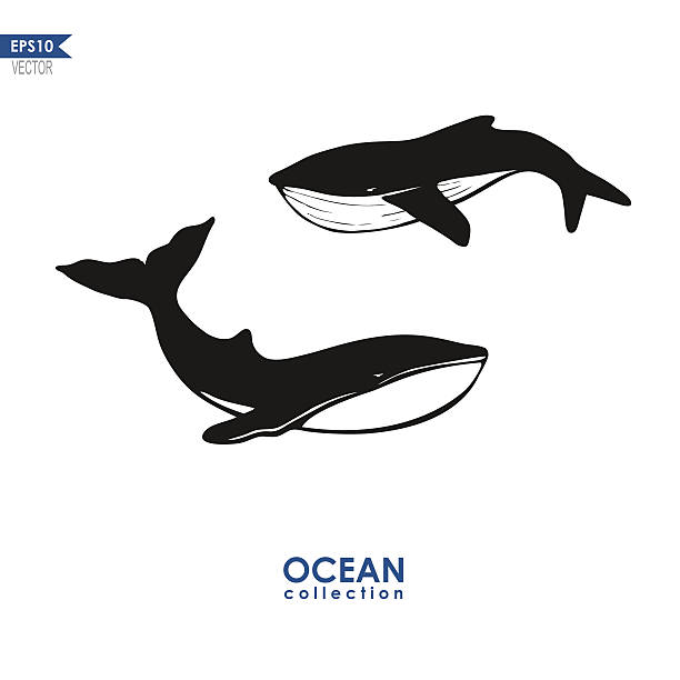 two whales isolated on white whales silhouettes, vector illustration of two whales isolated on white beluga whale stock illustrations