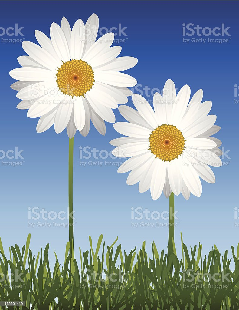 Two White Spring Daisies on a blue background in grass vector art illustration