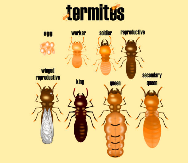 type of termite,white ant collection,cartoon style,vector. type,termite,white,ant,collection,cartoon,style,vector swarm of insects stock illustrations