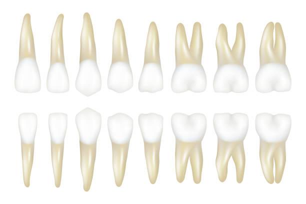 bildbanksillustrationer, clip art samt tecknat material och ikoner med typ tand. stomatologi medicinsk tandläkare realistiska vit tand vektor illustrationer - molar