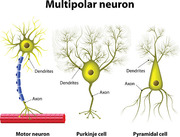 Types Of a multipolar Neurons Different kinds of a multipolar neurons motor neuron stock illustrations