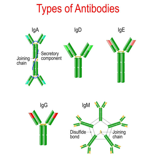 Types of Antibodies. immunoglobulin structure Types of Antibodies. immunoglobulin structure. Antibodies are glycoproteins that bind specific antigens. Vector diagram for educational, medical, biological and science use antibody stock illustrations