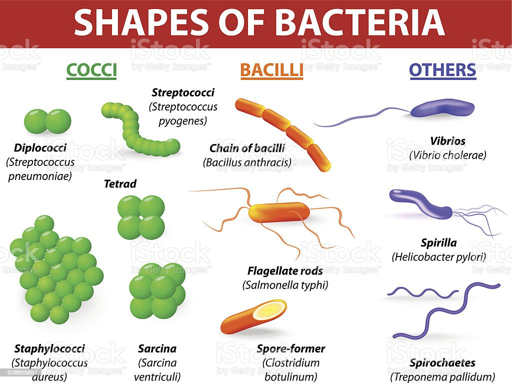 Types of bacteria Basic morphological differences between bacteria vector art illustration