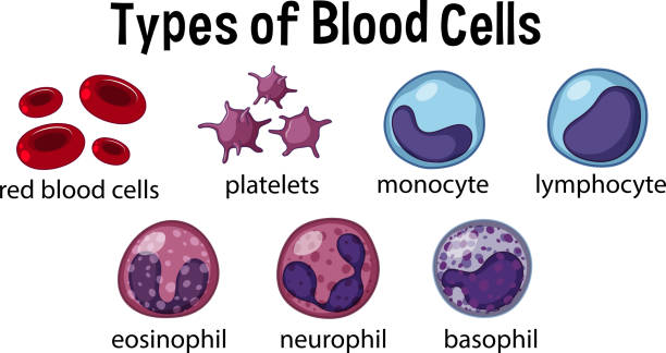 Types of Blood Cells Types of Blood Cells illustration white blood cell stock illustrations