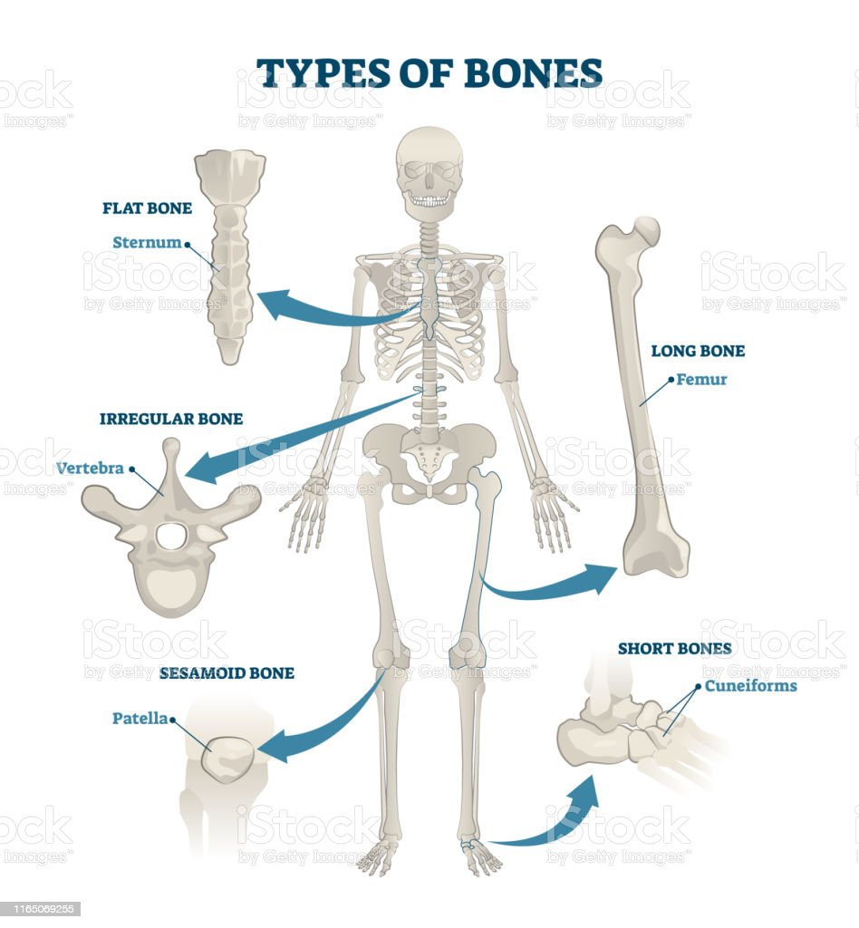 Types Of Bones Vector Illustration Labeled Anatomical