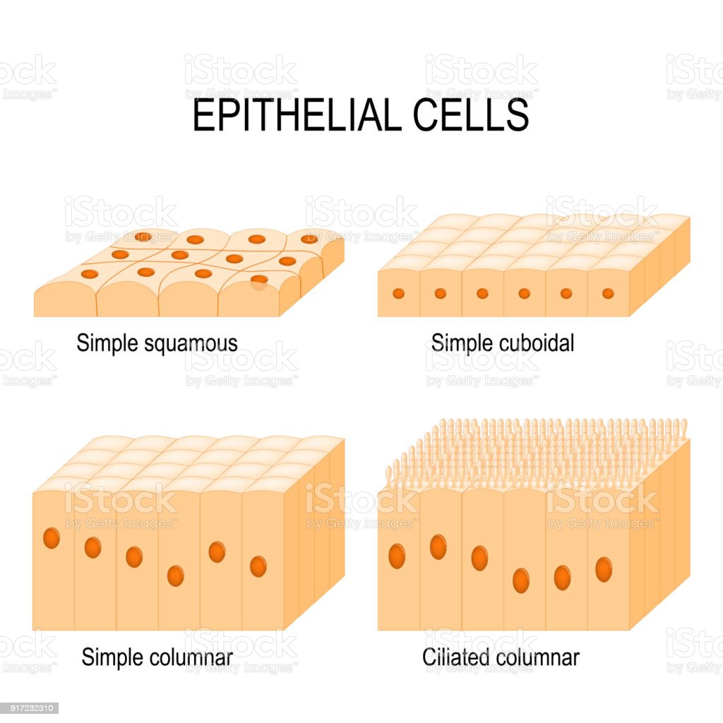 Arten Von Epithelzellen Stock Vektor Art und mehr Bilder von ...