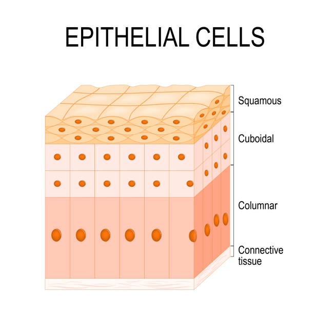 Types of epithelial cells Types of epithelial cells: cilliated columnar, simple columnar, simple cuboidal, and simple squamous cells epithelium stock illustrations