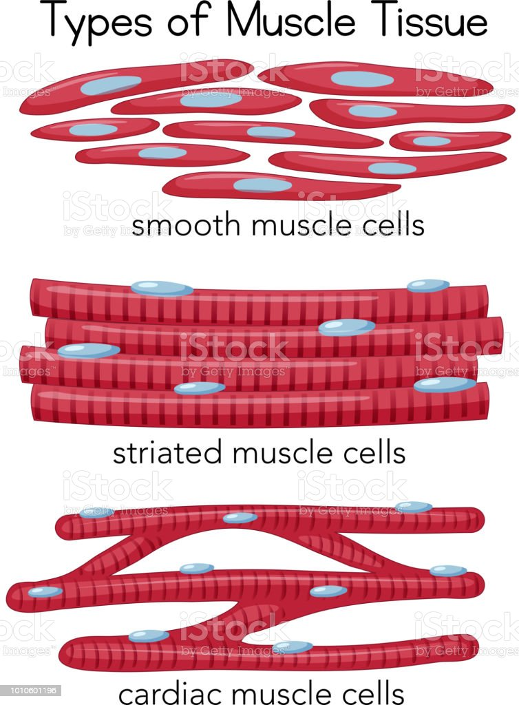 Arten Von Muskelgewebe Stock Vektor Art und mehr Bilder von Anatomie ...