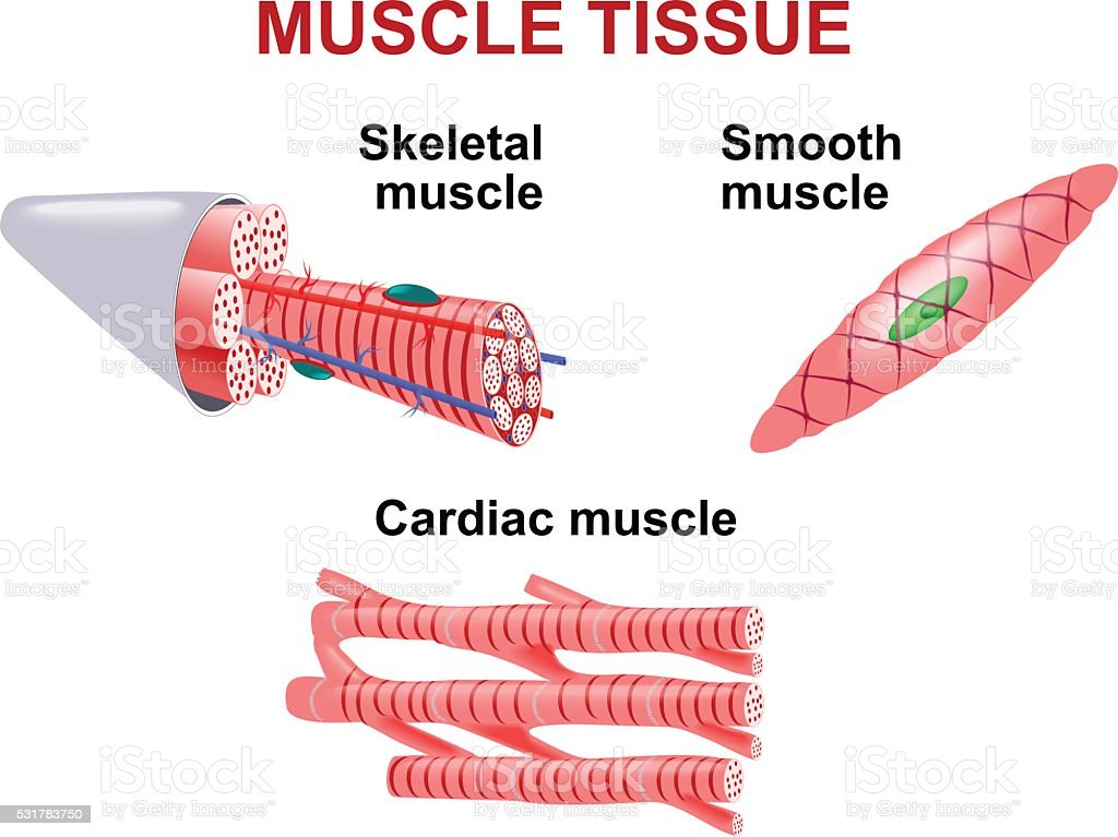 Types Of Muscle Tissue Stock Vector Art More Images Of Anatomy