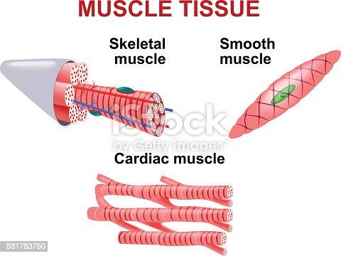 Arten Des Muskelgewebes Stock Vektor Art und mehr Bilder von ...