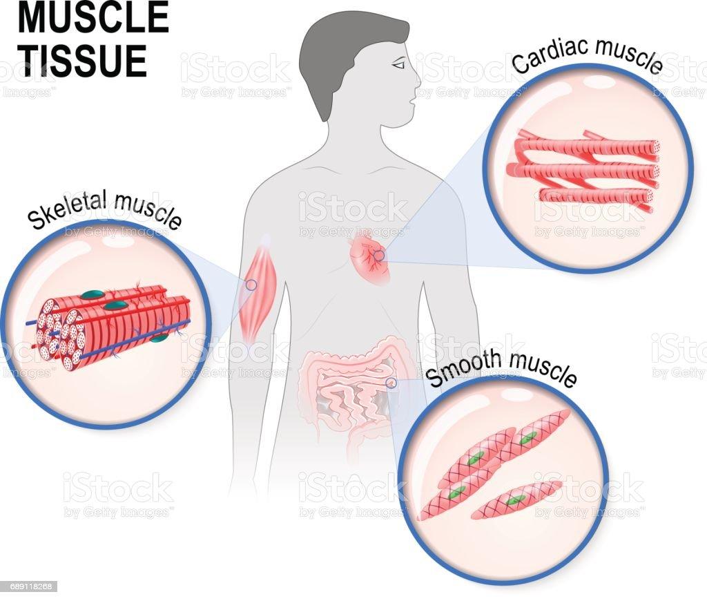 Types of muscle tissue. vector art illustration