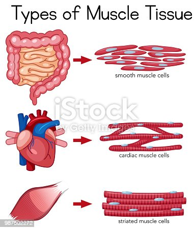 Types of Muscle Tissue illustration