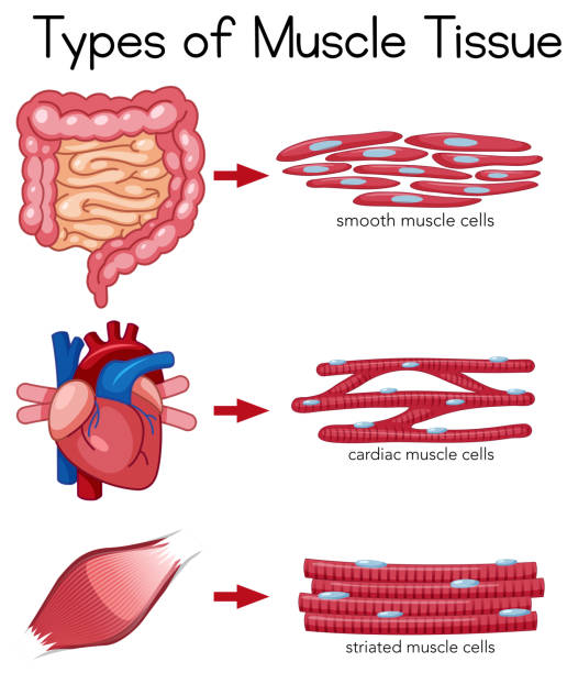 Royalty Free Cardiac Muscle Tissue Clip Art Vector Images