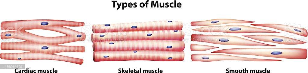 Arten Von Muskeln Vektor Illustration 476962507 | iStock