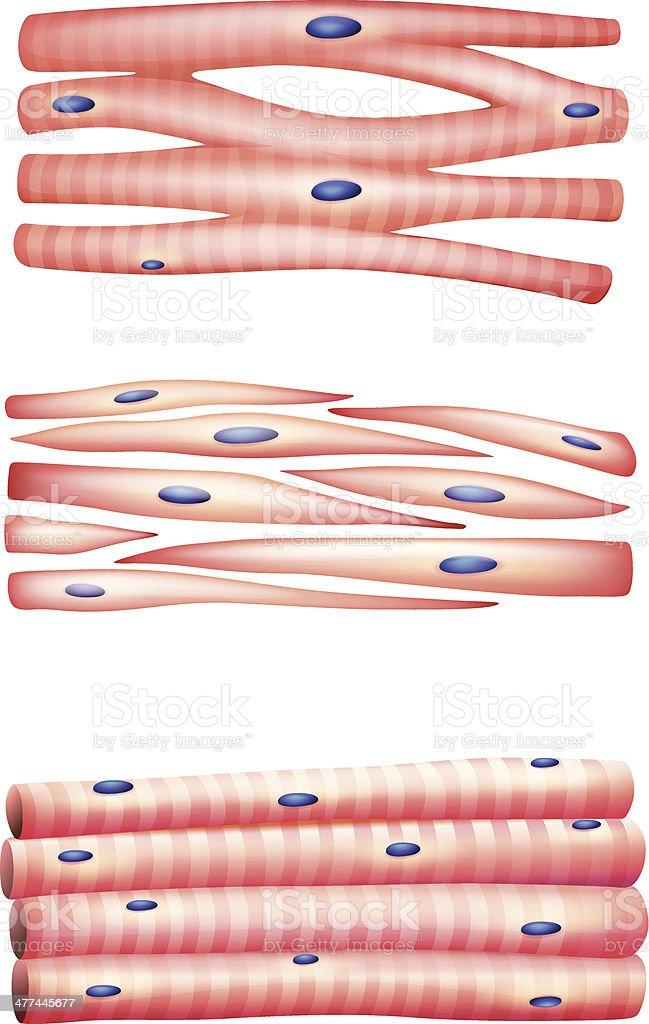 Arten Von Muskeln Vektor Illustration 477445677   iStock