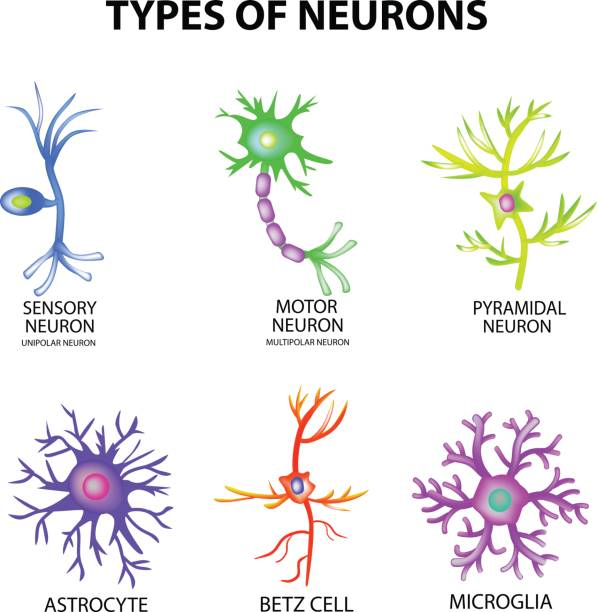 Types of neurons. Structure sensory, motor neuron, astrocyte, pyromidal, Betz cell, microglia. Set. Infographics. Vector illustration on isolated background Types of neurons. Structure sensory, motor neuron, astrocyte, pyromidal, Betz cell, microglia. Set. Infographics Vector illustration on isolated background nerve fiber stock illustrations