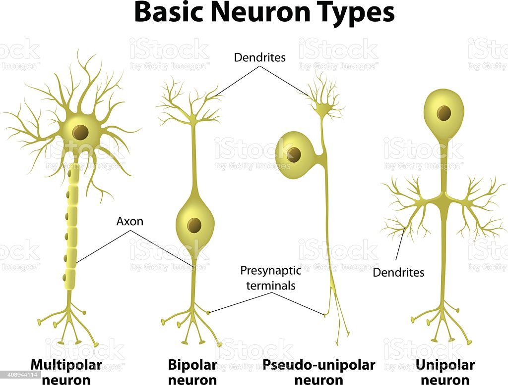 Types Of Neurons Stock Vector Art & More Images of 2015 468944114 ...