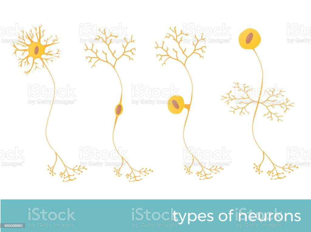 Ilustración de Tipos De Neuronas y más banco de imágenes de Anatomía ...