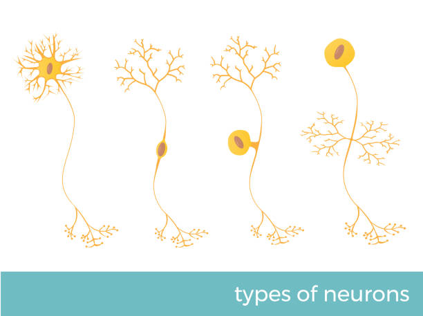 types of neurons types of neurons - part of human's central nervous system. vector format illustration dendrite stock illustrations