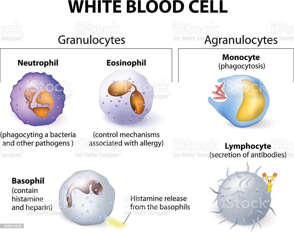 Types of white blood cells. Infographics. vector art illustration