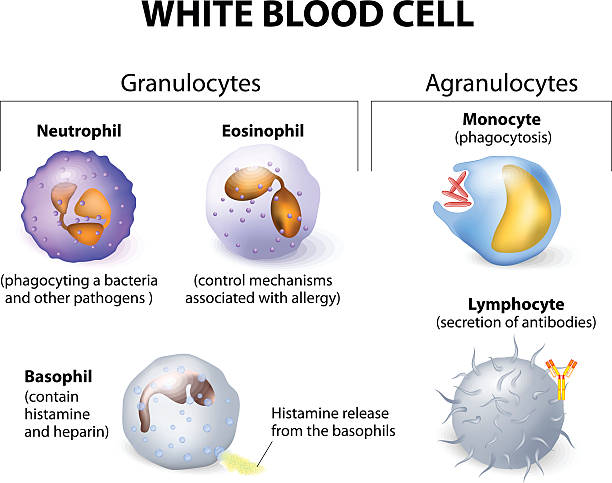 Types of white blood cells. Infographics. Types of white blood cells. Infographics. white blood cell stock illustrations