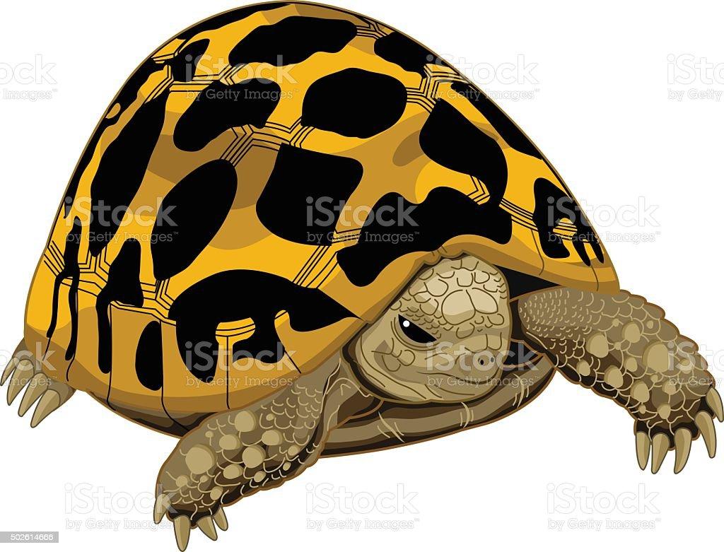 Typical tortoise vector art illustration