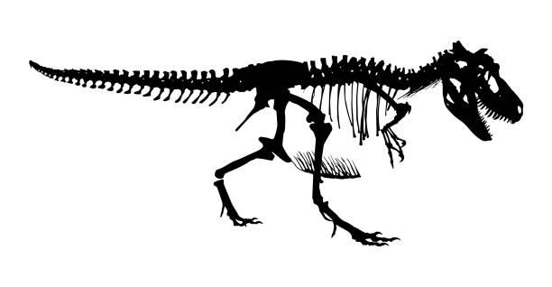 tyrannosaurus rex skeleton . silhouette vector . side view - animal skeleton stock illustrations